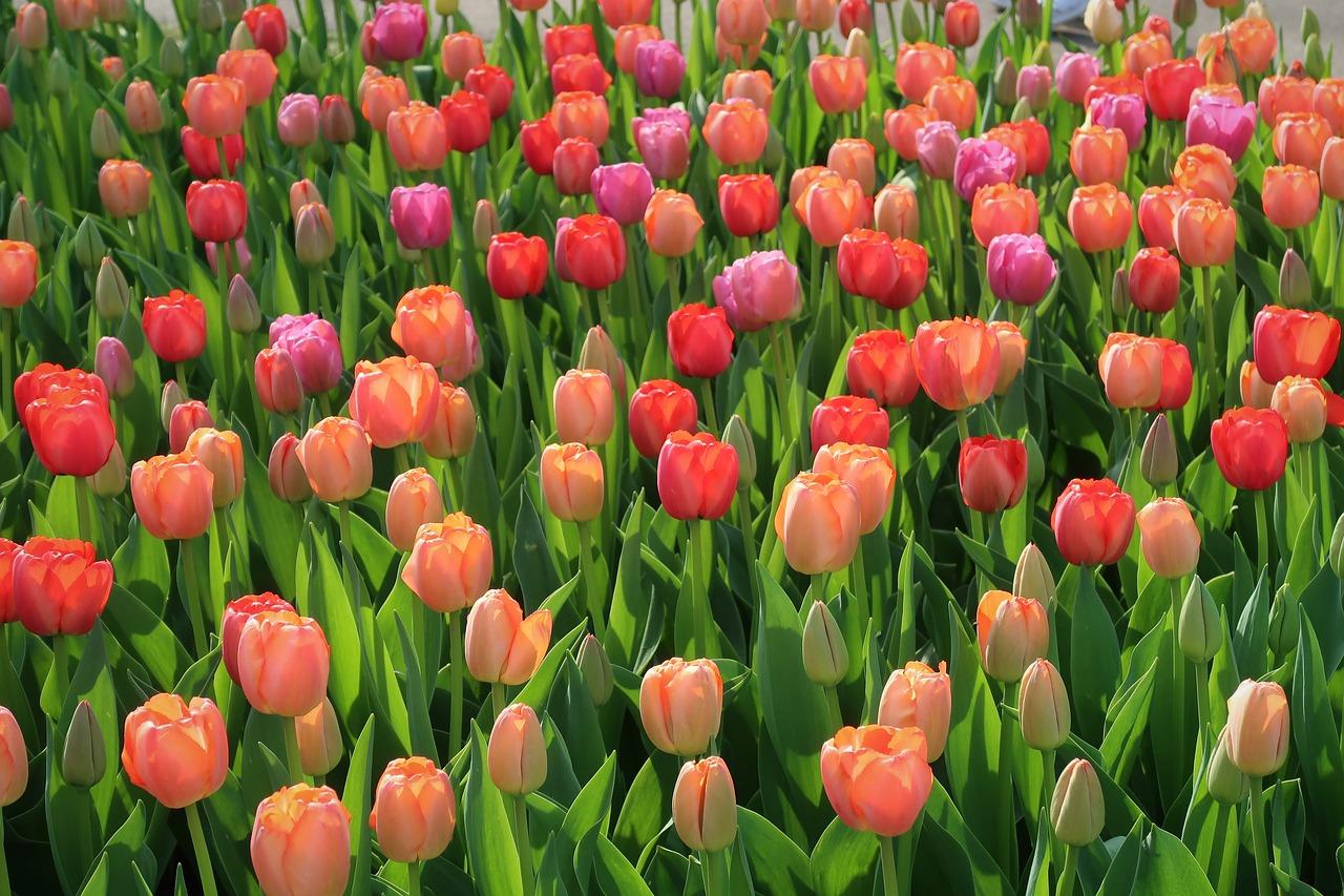 Cebulki kwiatowe - jak prosto i skutecznie posadzić kwiaty w ogrodzie?